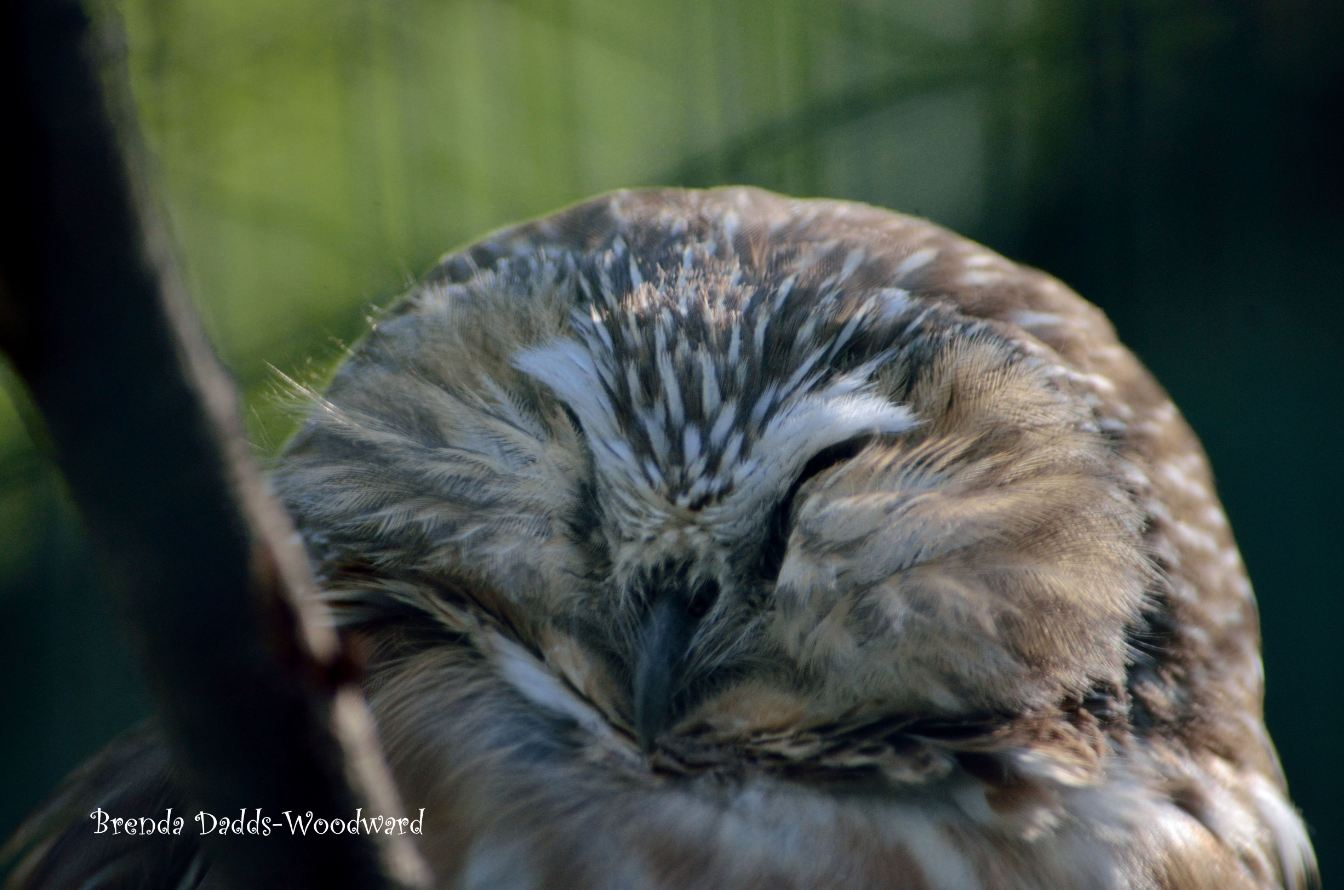 Saw whet owl by Brenda Dadds Woodward