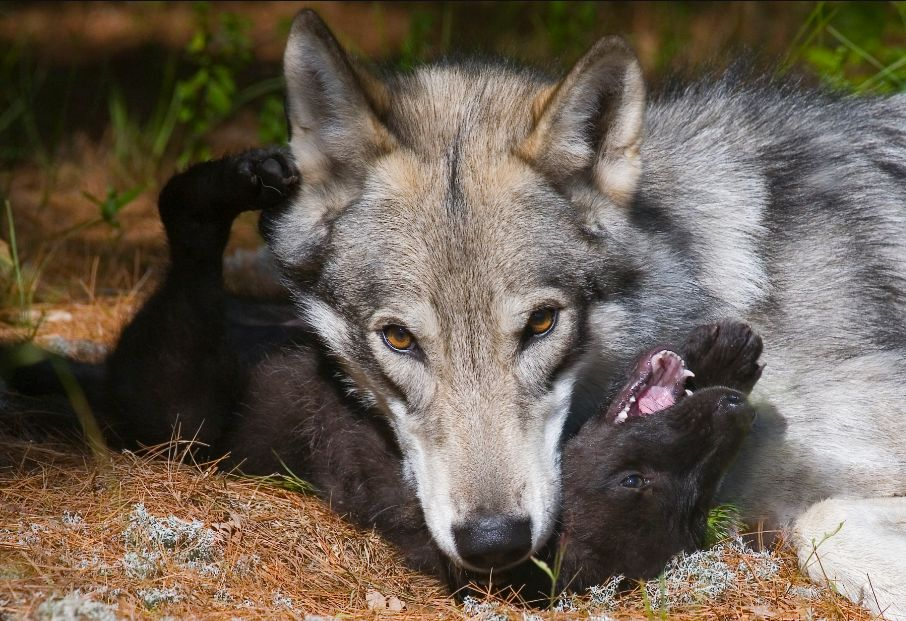Cree with puppy Zeebie playing in the Wolf Meadow, phot by Terry Hawthorne