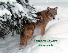 Eastern Coyote Research