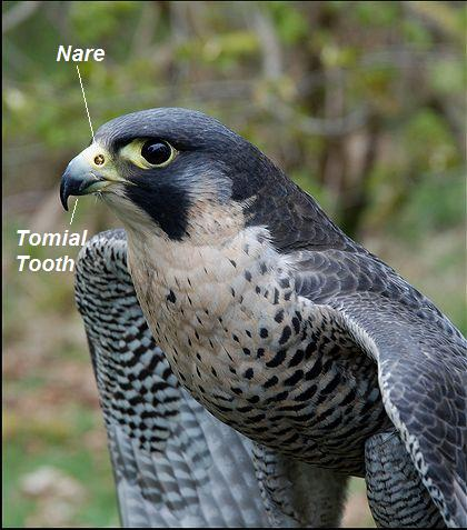 Pergrine's nare & tomial tooth
