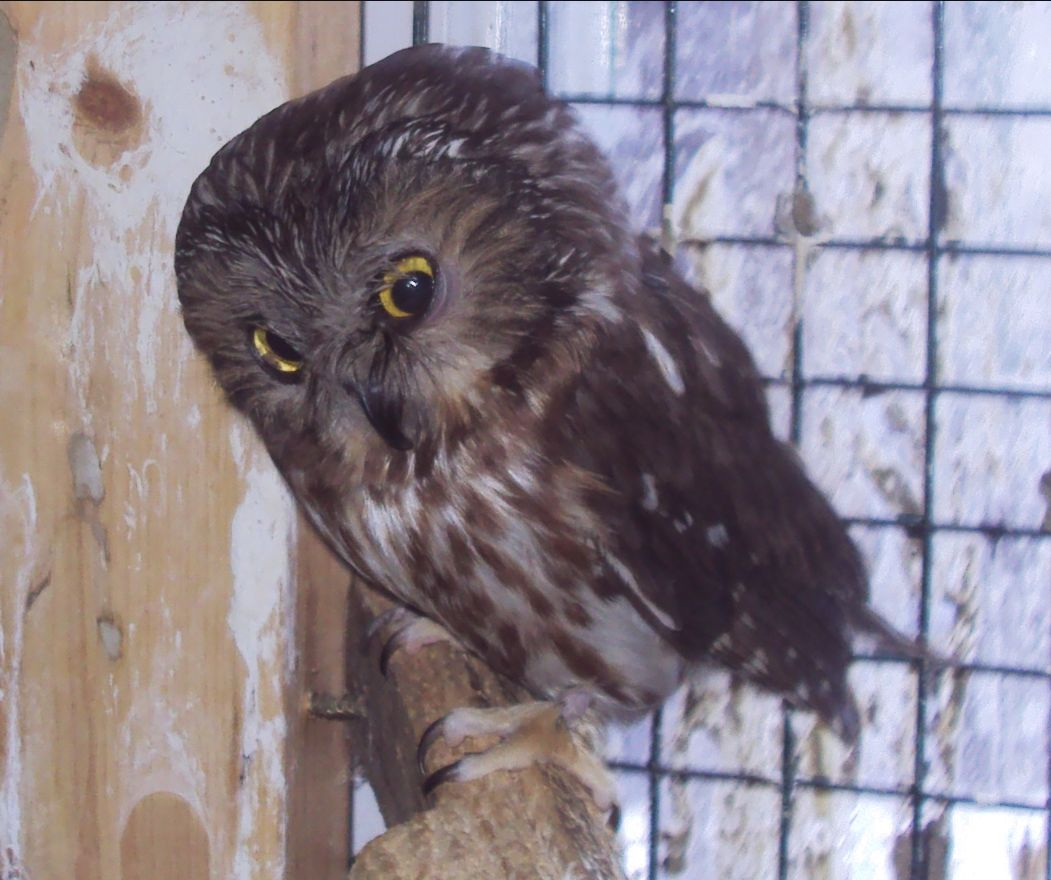 Twitter the Saw Whet Owl