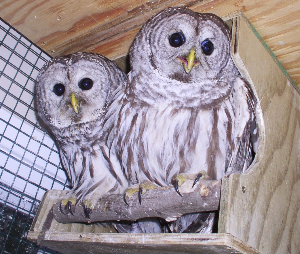 barred owls in rehab