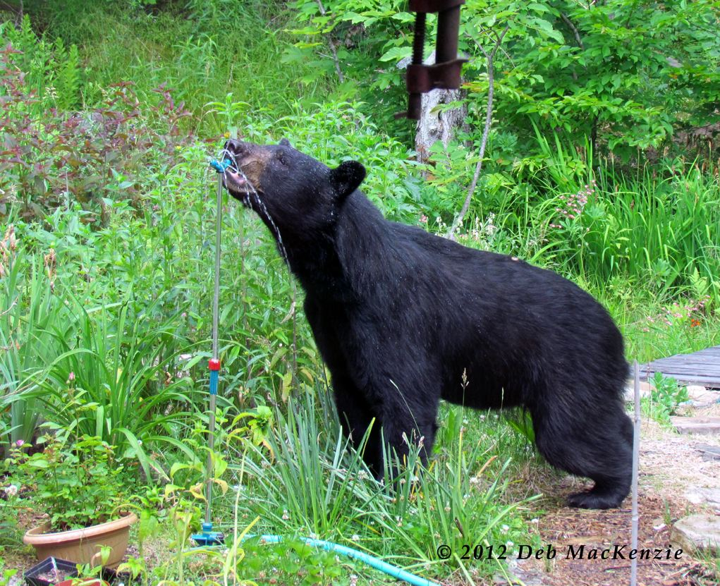 Adirondack Black Bear by Deb MacKenzie