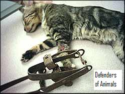 Cat in Leg_hold trap
