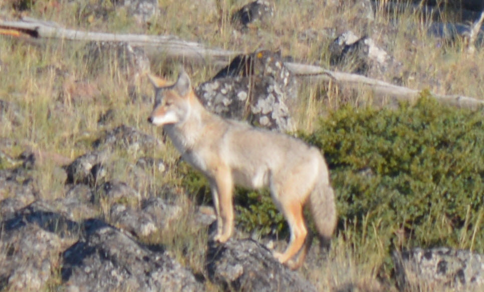 Coyote - yellowstone - Sept 2012