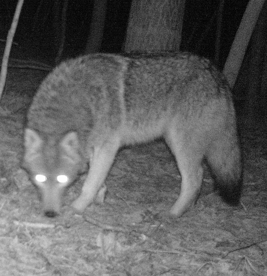 oywolf at Refuge Trail Cam Feb. 21, 2012