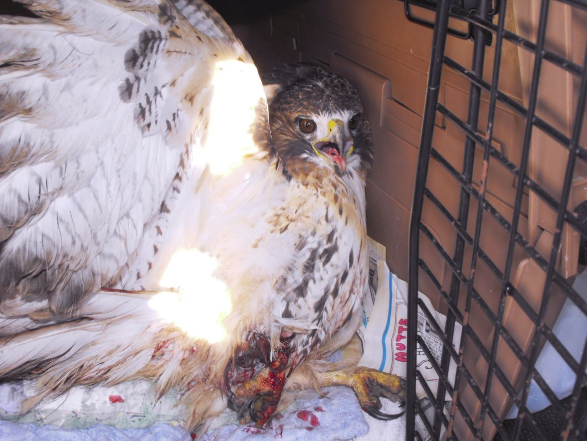 red-tailed hawk from leghold trap