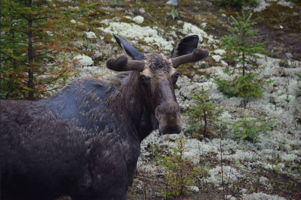 Bull Moose Algonquin Park about May 20th, 2018