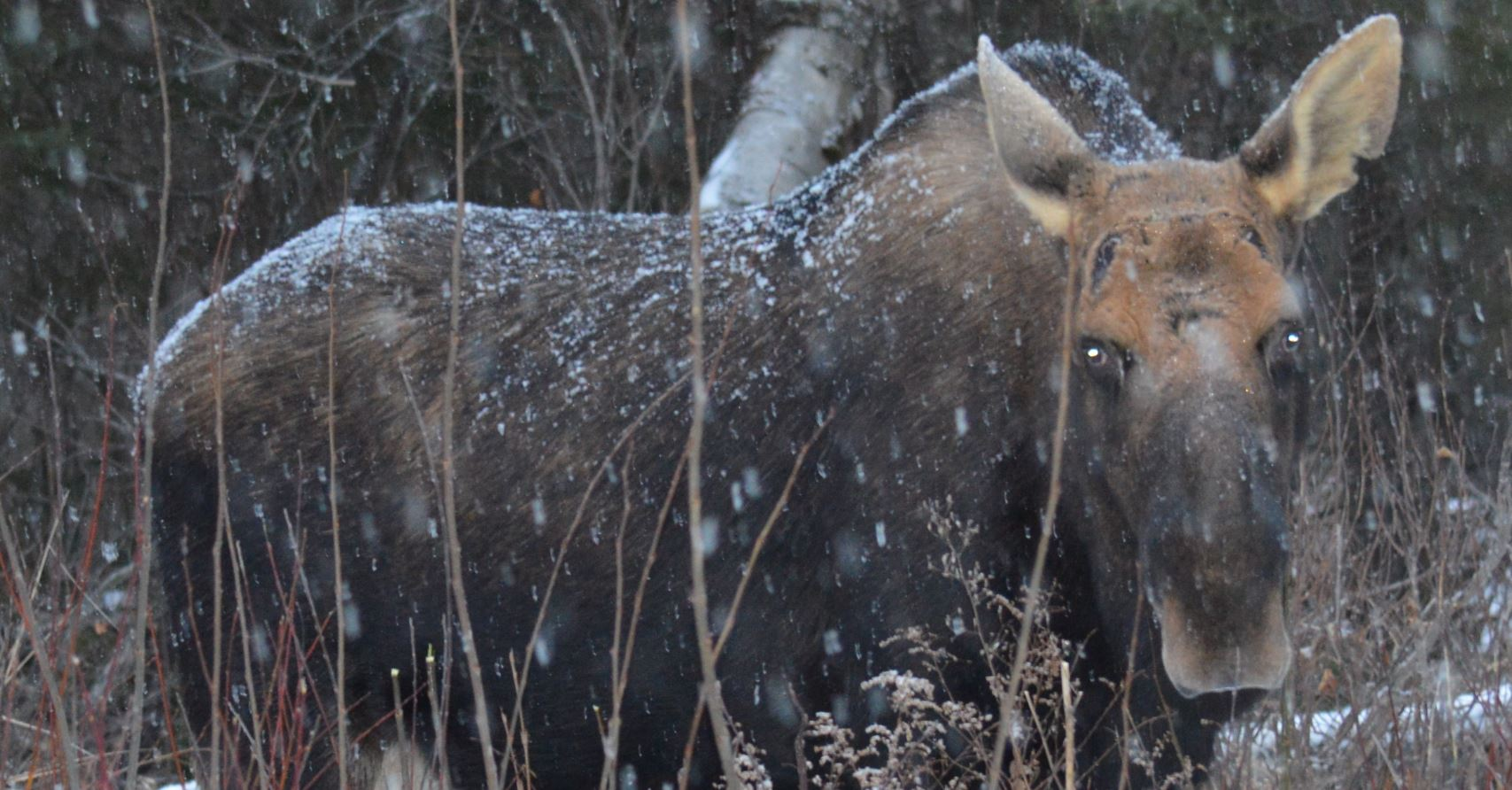 Bull moose, Algonquin Park, Dec 9th, 2014