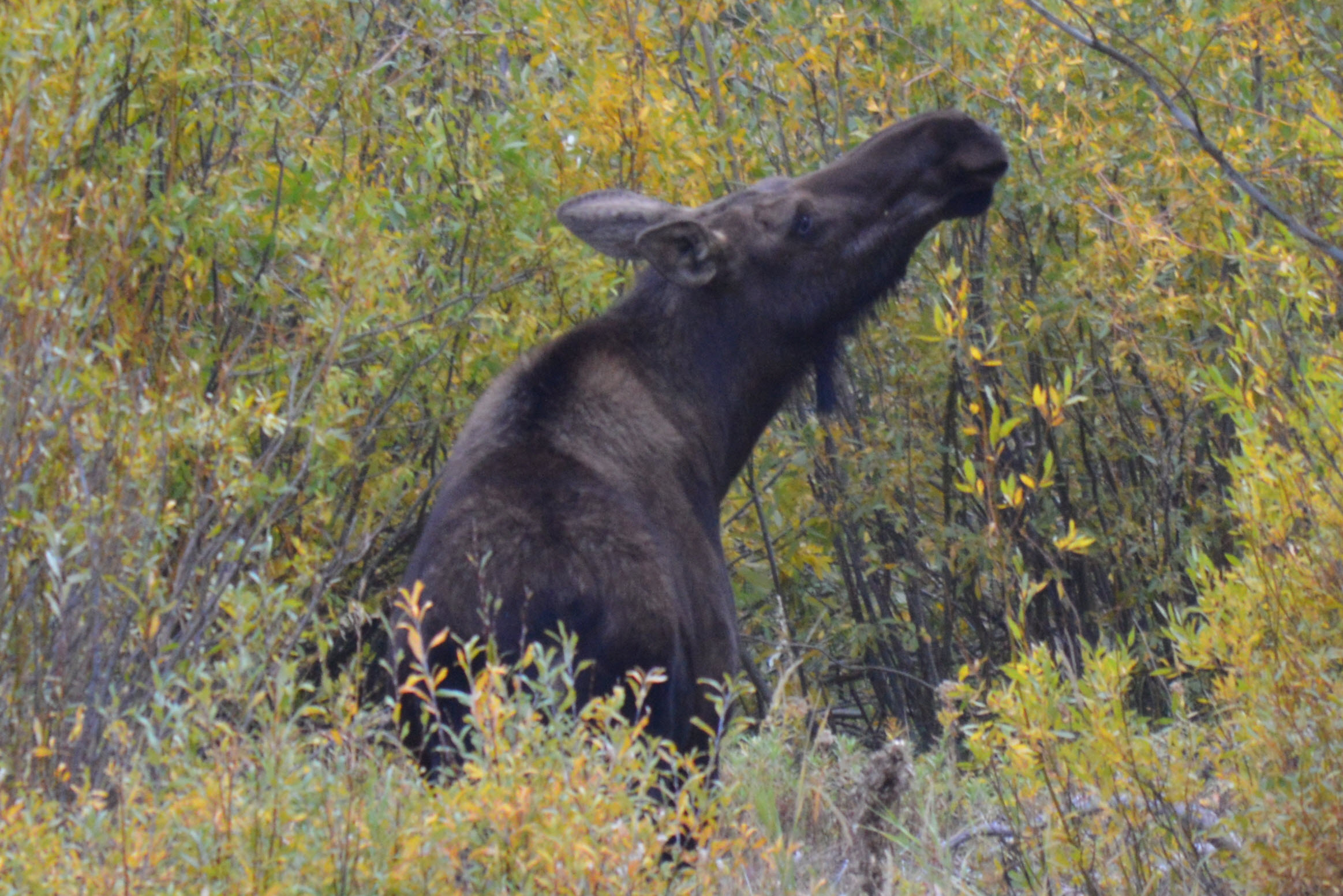 Moose cow outside Yellowstone near Waipiti, Wyoming, Sept 2012