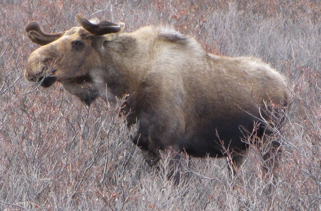Bull Moose in Denali Nat Park, Alaska, May 2012