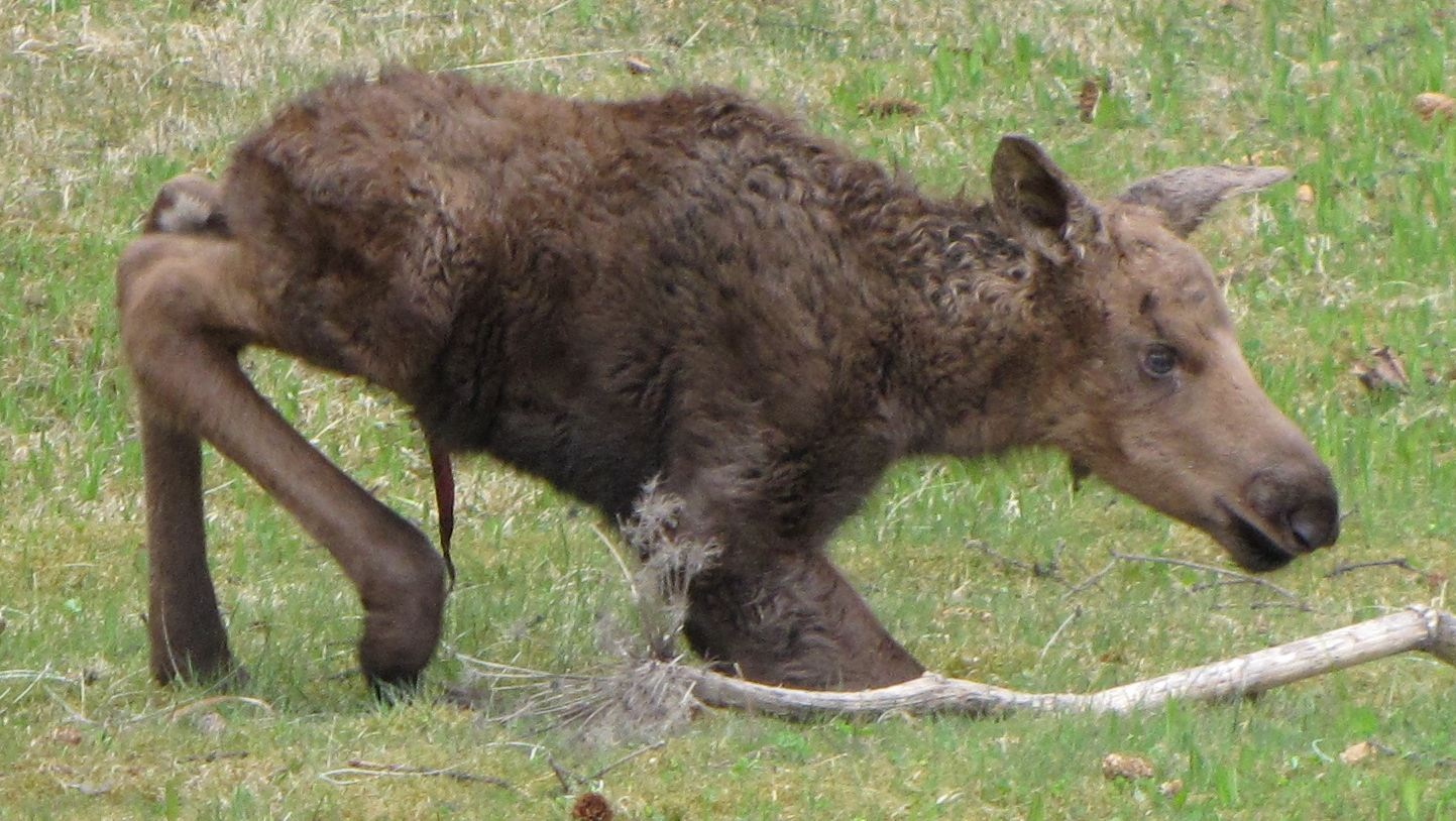 Newborn calf, Homer, Alaska, May 2012