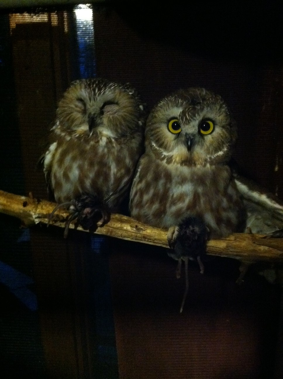 Saw whet owls by Dan Alempijevic.