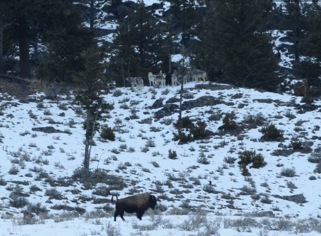Wapiti wolf pack north of High Tower, Nov 2018