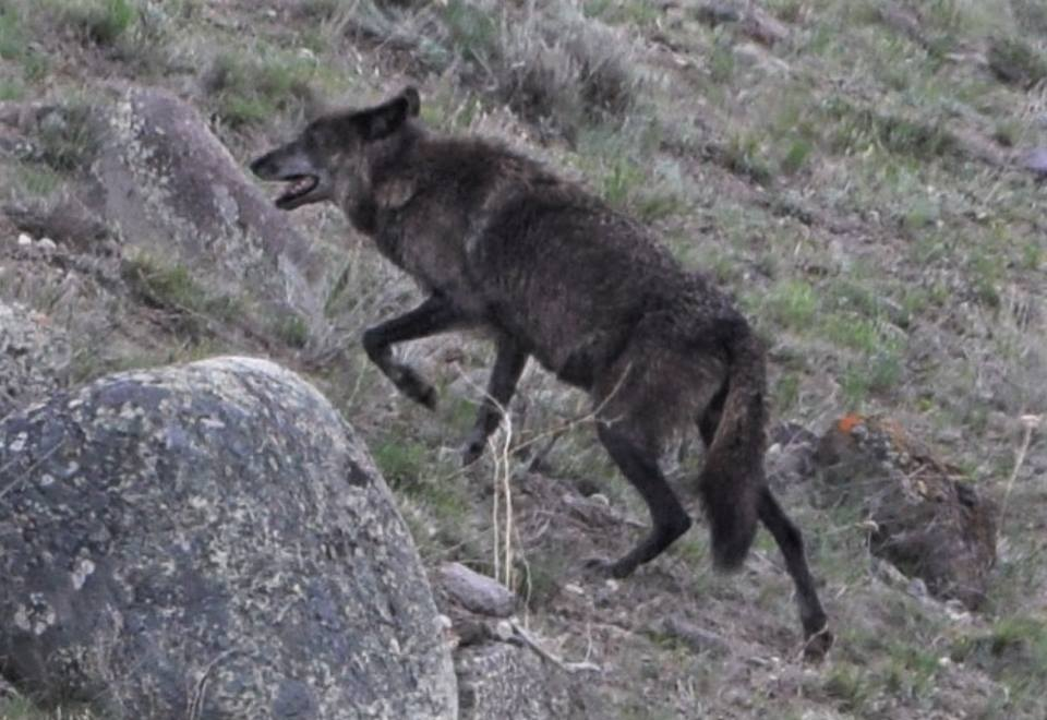 Gray wolf from Lamar Canyon Pack in Yellowstone, May 2018, by Steve Hall