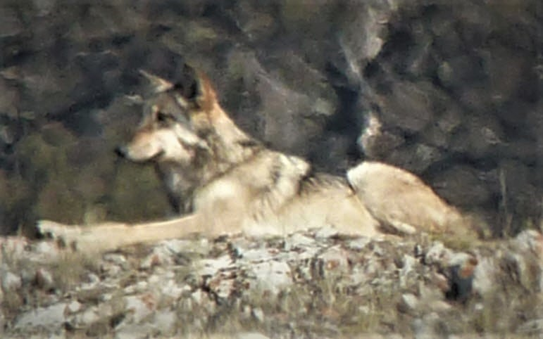 Lamar Canyon wolf pack member, by Steve