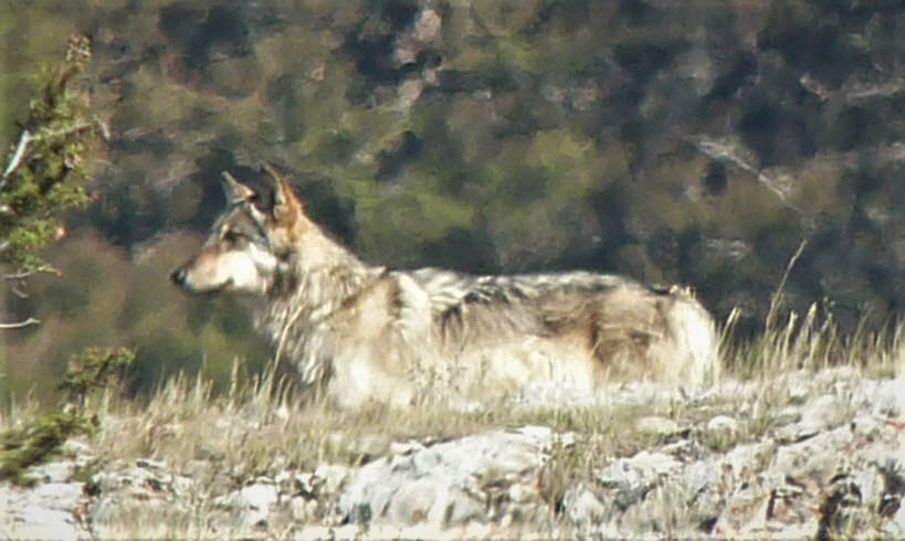 Lamar Canyon wolf pack member, Sept 2012